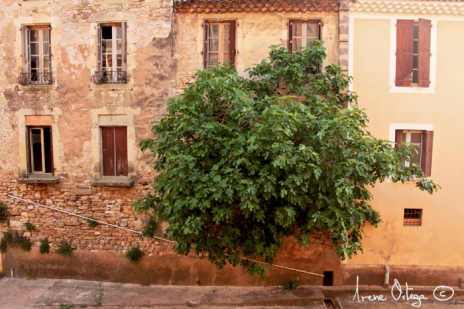 Ficus carica FIRMA