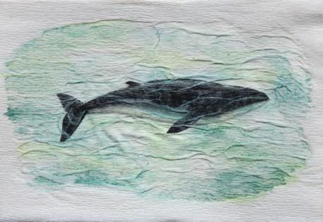 Baleine Pygmée. Caperea marginata. 10 x 15 cm. 2016