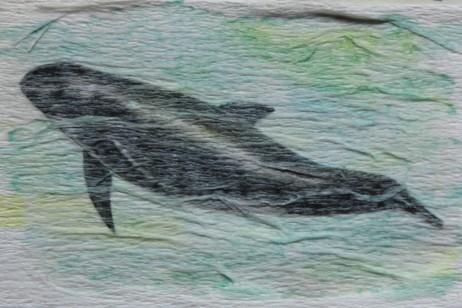Globicéphale à dents abondantes ou Dauphin d'Electre, Tête-de-melon ou Péponocéphale. Peponocephala electra. 5 x 7,5 cm. 2016