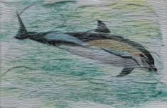 Dauphin commun, Marsouin à ventre blanc, Dauphin camus, Dauphin à bec d'oie ou Dauphin des Anciens. Delphinus delphis. 5 x 7,5 cm. 2016