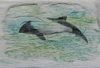 Céphalorynque de Commerson, Céphalorhynque pie, Jacobite, Dauphin de Commerson. Cephalorhynchus commersonii. 5 x 7,5 cm. 2016